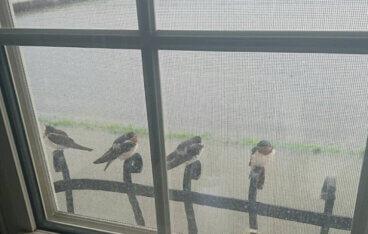 窓の外にツバメが4匹とまっている写真。